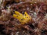 Thecacera sp. (Polyceridae nudibranch).jpg