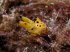 Thecacera sp. (Polyceridae nudibranch).jpg