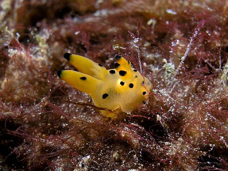 Nudibranquio Pikachu