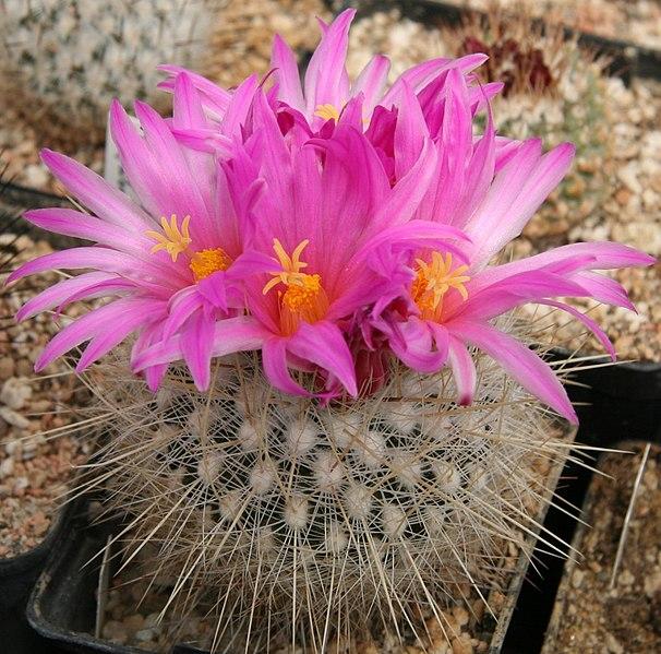 fleur du thelocactus