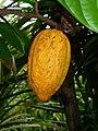 Theobroma cacao 006.JPG