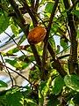Theobroma cacao capsule and inflorescences Tropical Dome Brisbane Botanic Gardens Mt Coot-tha P1120922.jpg