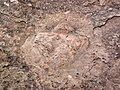 Theropod dinosaur footprint in sandstone (Kayenta Formation or Navajo Sandstone, Lower Jurassic; Potash-Poison Spider dinosaur tracksite, Williams Bottom, west of Moab, Utah, USA) 8 (33190872025).jpg