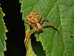 Thomisidae - Xysticus sp.-2.JPG