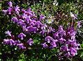 Thymus quinquecostatus in Mount Hijiri 2002-08-14.jpg