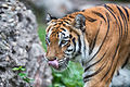 Tiger Walking and Licking Nose (21591177021).jpg