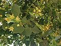 Tilia americana - American Basswood.jpg