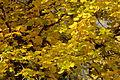 Tilia cordata Herbstfaerbung GartenAkademie.JPG