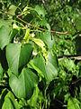 Tilia japonica 2.JPG