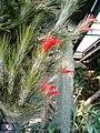 Tillandsia funckiana HabitusFlowers BotGardBln1006b.JPG