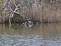 Tortugues de Florida a l'estany del braç de la Vidala P1100415.jpg