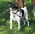 Toy Fox Terrier.jpg