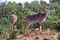 Tragelaphus strepsiceros females 3.jpg