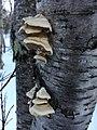 Trametes pubescens 6805825.jpg
