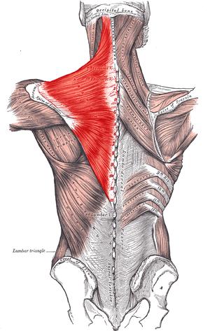 Trapezius muscle - Image: Trapezius Gray 409