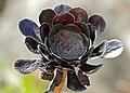 Tree Aeonium (Aeonium arboreum var. 'Atropurpureum') (35585058932).jpg