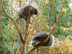 North American porcupine - Porcupines prior to mating. The female is higher in the tree.