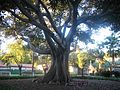 Tree in Mission Santa Barbara cemetery.JPG
