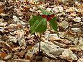 Trillium erectum, parc national de la Mauricie 02.jpg