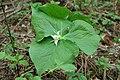 Trillium tschonoskii (200204).jpg