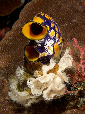 Ascidiacea - The colorful Polycarpa aurata sits in a bed of white bryozoans (Triphyllozoon inornatum).