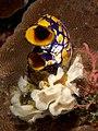 Triphyllozoon inornatum (Bryozoan) and Polycarpa aurata (Sea quirt).jpg