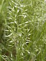 Trisetum flavescens CB003.jpg