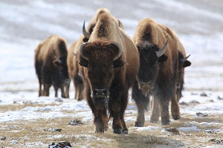 A group of bison trudge across the landscape at the National Elk Refuge in Wyoming. Trudging through the Snow (23397440346).jpg