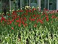 Tulip Festival in assiniboine park winnipeg manitoba canada 1 (5).JPG