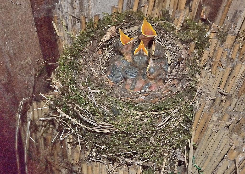 Drozd čierny - hniezdo s mláďatami
