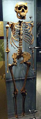 """Homo erectus-Skelett des etwa neun Jahre alten """"Nariokotome-Jungen"""""""