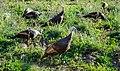 Turkey Birds ABDS-TK-2.jpg