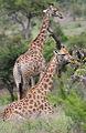 Two giraffes at Kruger National Park (13945434275).jpg