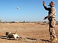 U.S. Marine Corps Cpl. Ross T. Gundlach, a dog handler with 2nd Battalion, 6th Marine Regiment, conducts drills with Casey, an improvised explosive device detection dog, in Helmand province, Afghanistan, Jan 120119-M-MA864-034.jpg