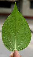 Underside of a leaf of the Parijat plant (Nyctanthes arbor-tristis), Kolkata, India - 20070130