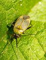 Unknown shield bug.jpg