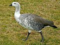 Upland Goose (Chloephaga picta) male (7096694213).jpg