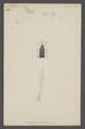Uroplata - Print - Iconographia Zoologica - Special Collections University of Amsterdam - UBAINV0274 036 19 0002.tif