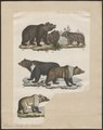 Ursus arctos - 1700-1880 - Print - Iconographia Zoologica - Special Collections University of Amsterdam - UBA01 IZ22600021.tif