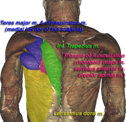 Learn and talk about Triangle of auscultation, Anatomy