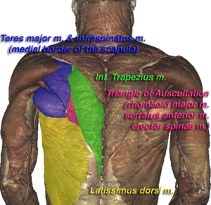Triangle of auscultation - Triangle of auscultation (shown in pink) of the Visible Human Male, created in the VH Dissector