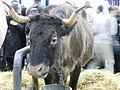 Vache-aure-et-saint-girons (casta) SDA2013.JPG