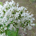 Valeriana officinalis 2233.jpg