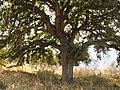 Valonia oak - panoramio - macrolepis.jpg