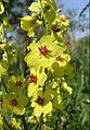 Verbascum marschallianum (flowers) 2.jpg