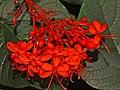 Verbenaceae - Clerodendrum speciosissimum.JPG