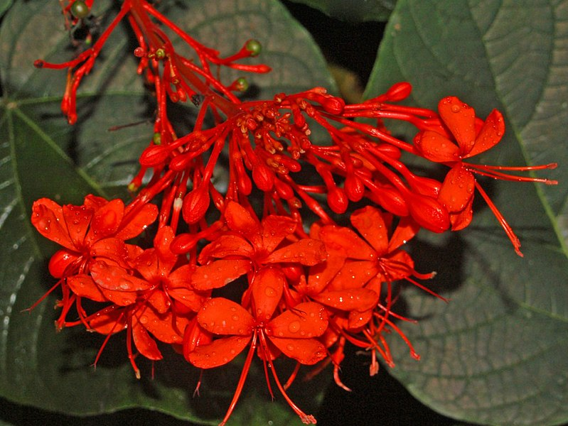 clerodendron fleur rouge