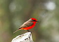 Vermilion Flycatcher, Crooked Tree Wildlife Sanctuary, Belize.jpg