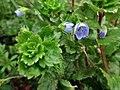 Veronica persica (Plantae) - (flowering), Elst (Gld), the Netherlands - 2.jpg