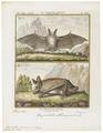 Vespertilio murinus - 1700-1880 - Print - Iconographia Zoologica - Special Collections University of Amsterdam - UBA01 IZ20800189.tif